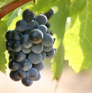 Récolte raisins vin rouge