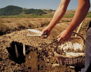 La cueillette des asperges