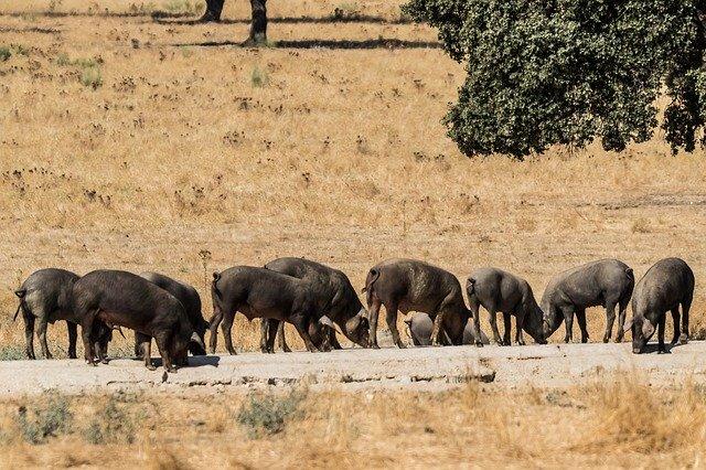 viande iberique fraiche porc iberique