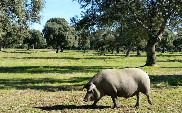 jambon iberique porc femelle meilleur male